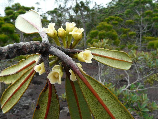 Baloghia sp. , Euphorbiaceae