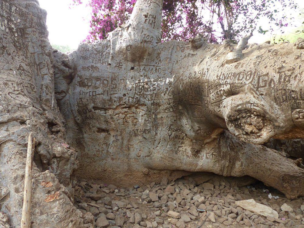 Le baobab de Darwin à Trindade, Santiago
