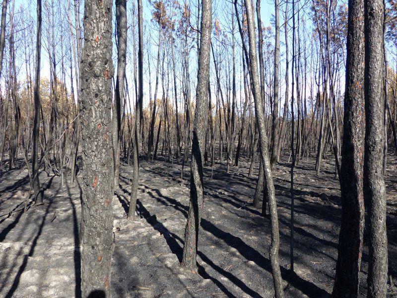 Après l'incendie de forêt