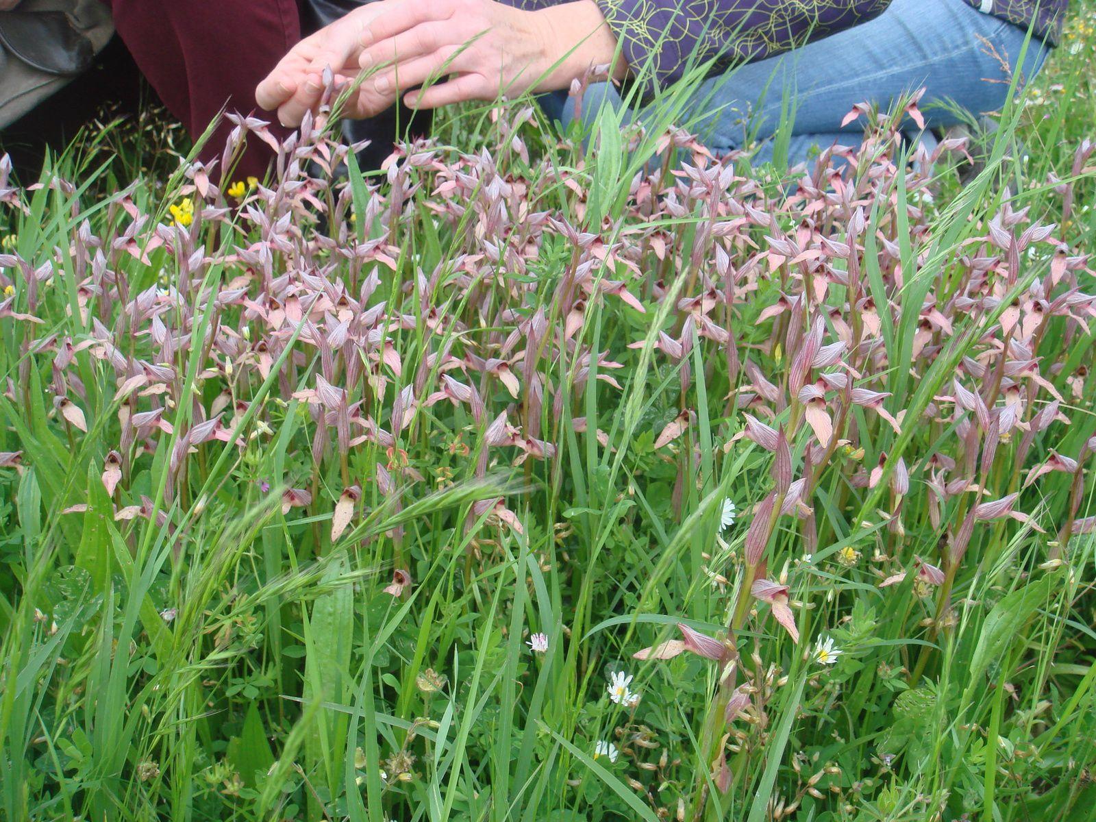 orchidee sauvage tubercule