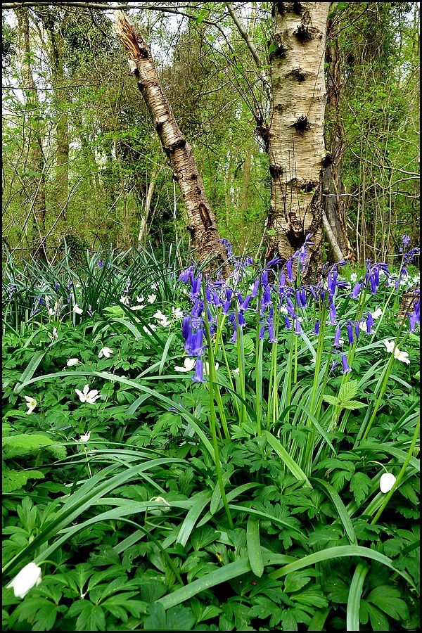 Normandie, Pays de Caux : le bois de Bernouville