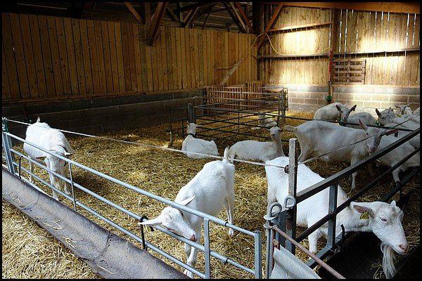 Normandie, Pays de Caux : élevage de chèvres