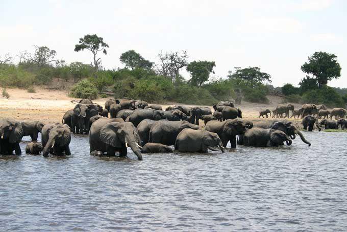 Lu pour vous : L'inexorable déclin des éléphants d'Afrique