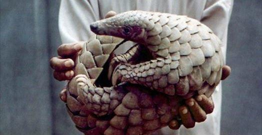 Lu pour vous : Les pangolins, mammifères les plus braconnés au monde, désormais protégés