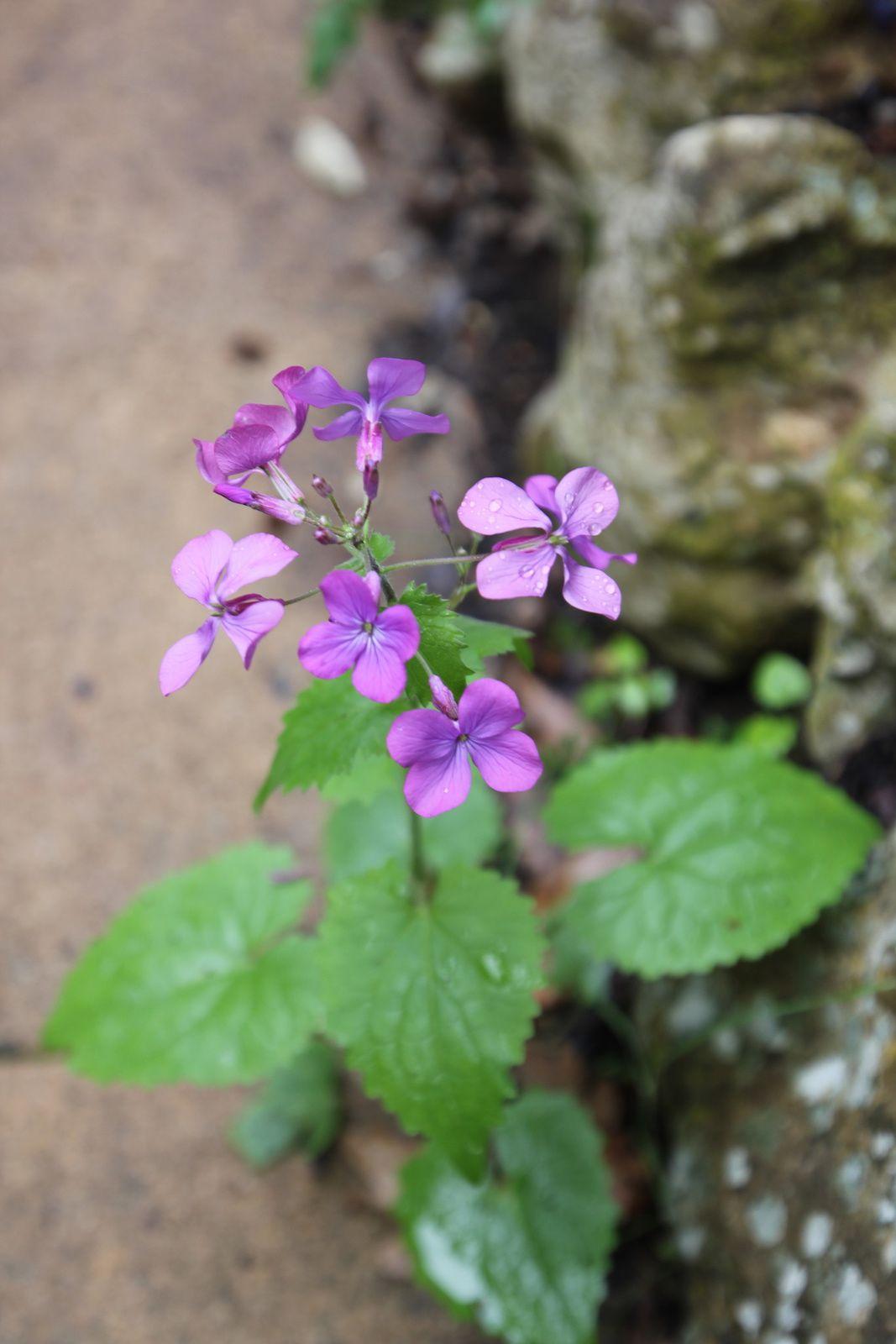 Fleurs du printemps, en mon jardin...