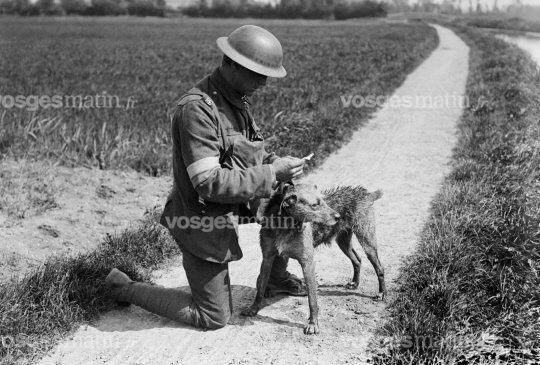 Un chien messager de l'armée britannique, en 1918. Photo DR