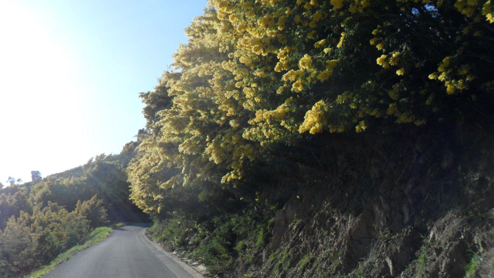 Côte d'Azur : folie de mimosas, mimosas en folie