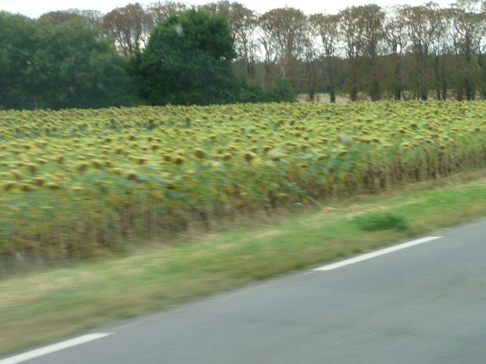 sur la route , nous aperçevons des tournesols , ils sont passés et moins beaux a cette époque   .