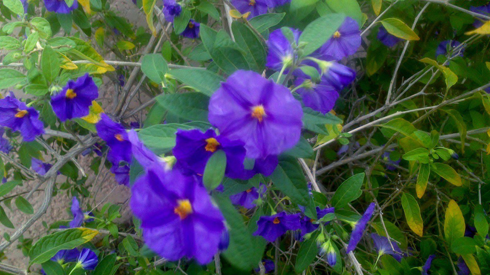 Fleurs d Ipomée