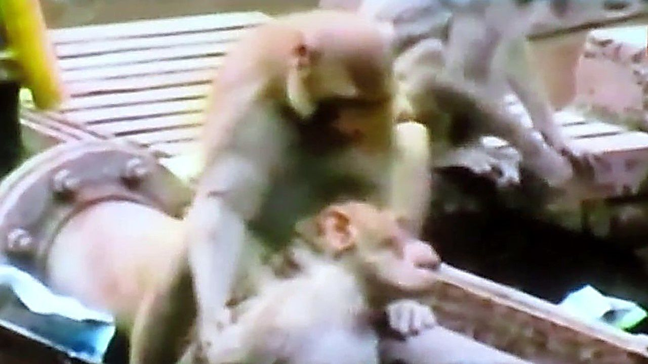 UN SINGE S'IMPROVISE SECOURISTE (VIDEO)