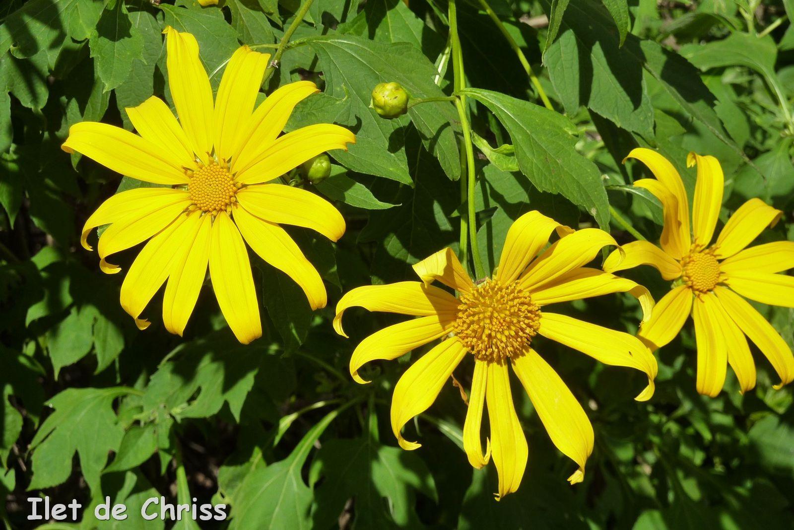 Fleurs Jaunes Ilet De Chriss