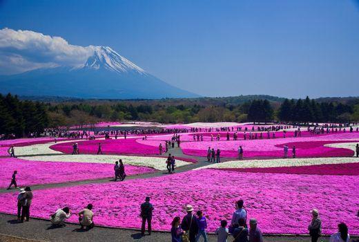 """Fuji Shiba Sakura Festival. Fuji """"Shiba Sakura"""" Festival (Décoration réalisée uniquement avec des fleurs et pétales de cerisiers)"""