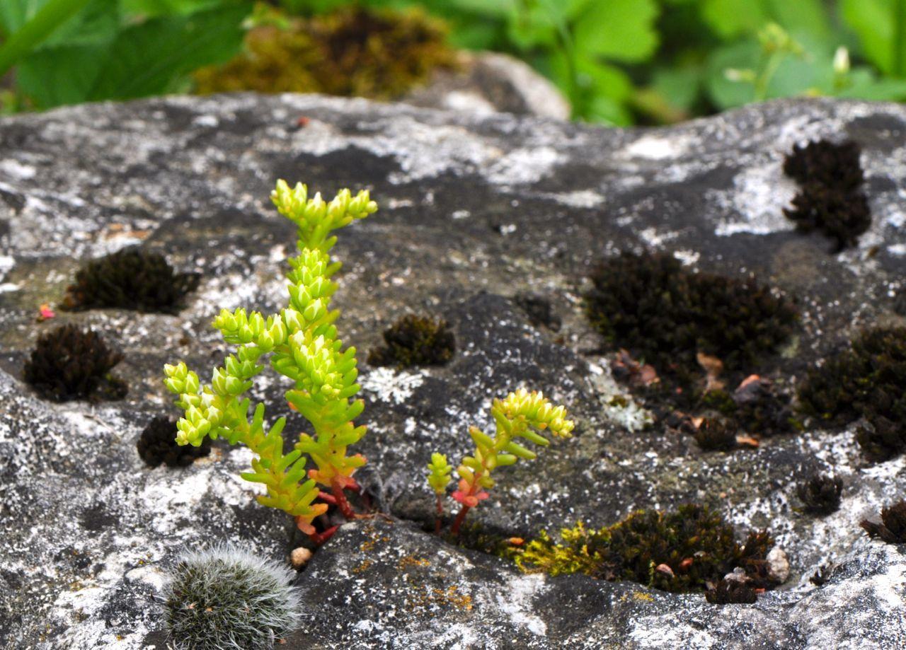 Un sedum a poussé dans une fente de rocher -> force de la nature