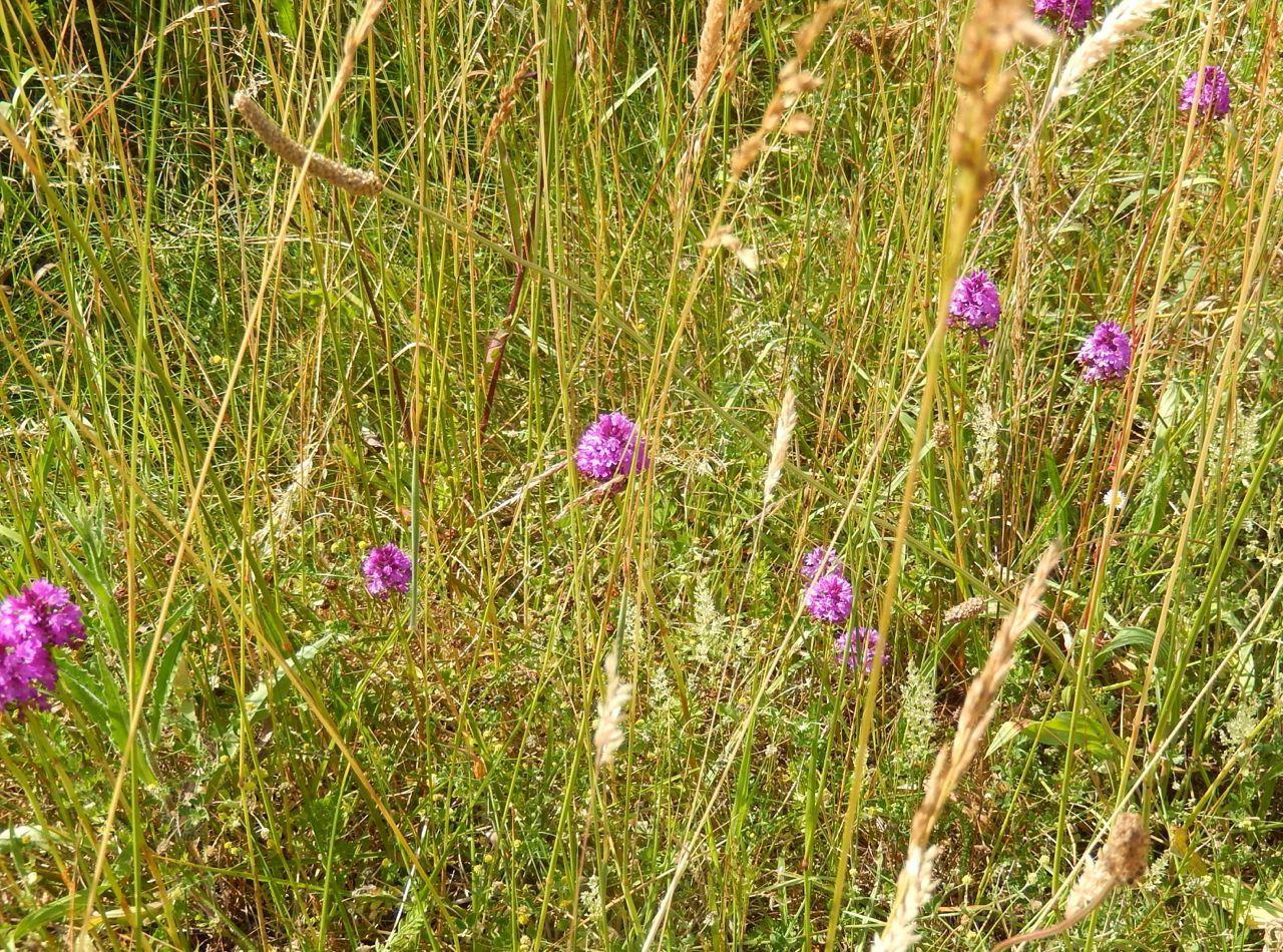 Orchis pyramidal dans des herbes séches