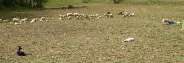 Moutons, chevre en attente de vellage et patou dans un enclos