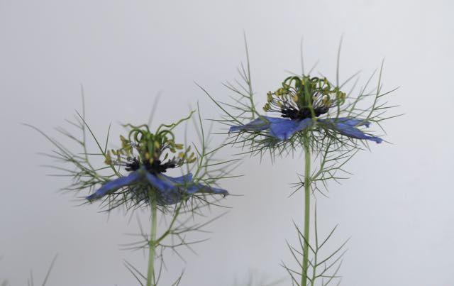 Nigelle de Damas : finesse de la fleur
