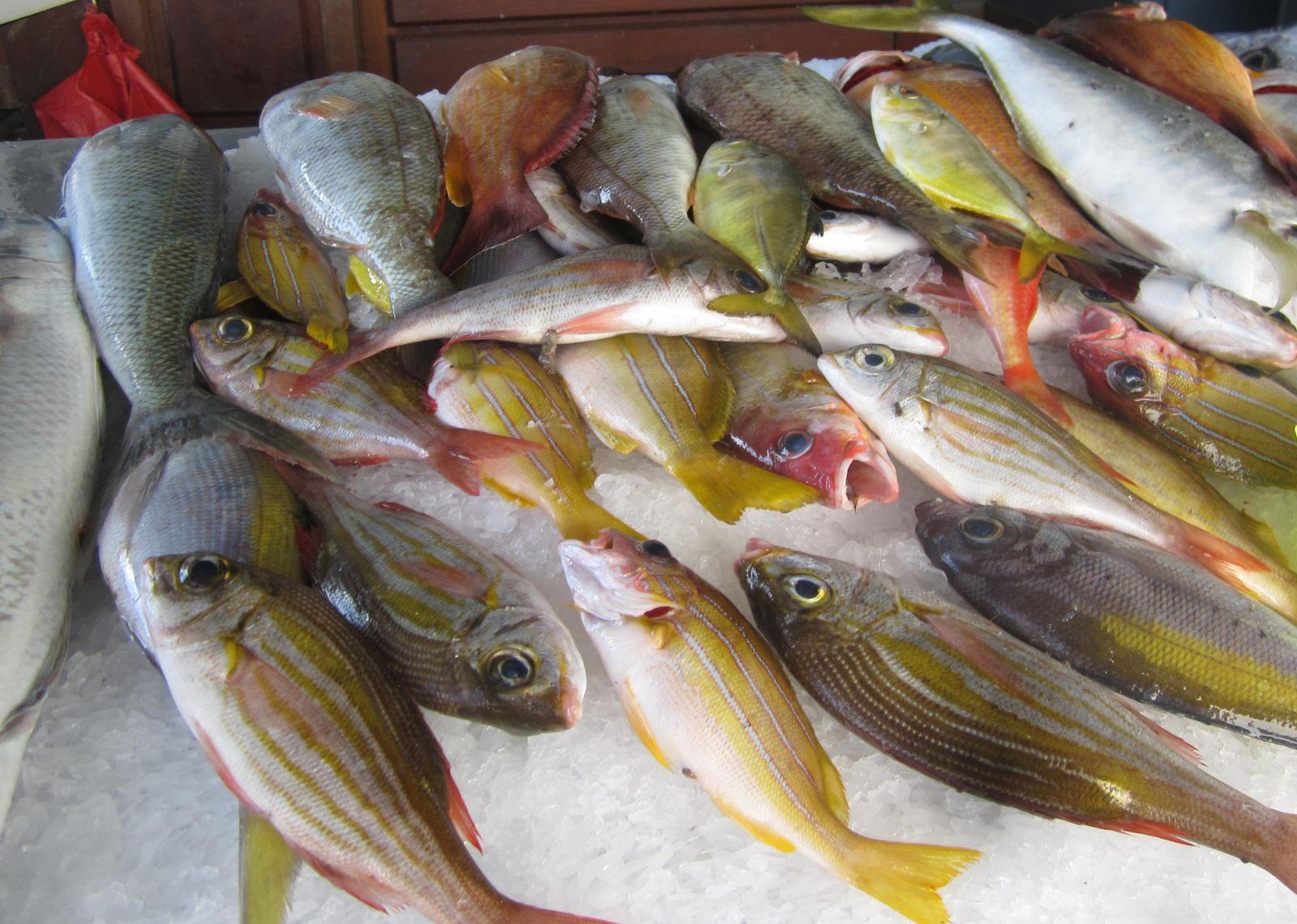 Poissons multicolores : vivanneaux , espadon, poissons pintade et thon.