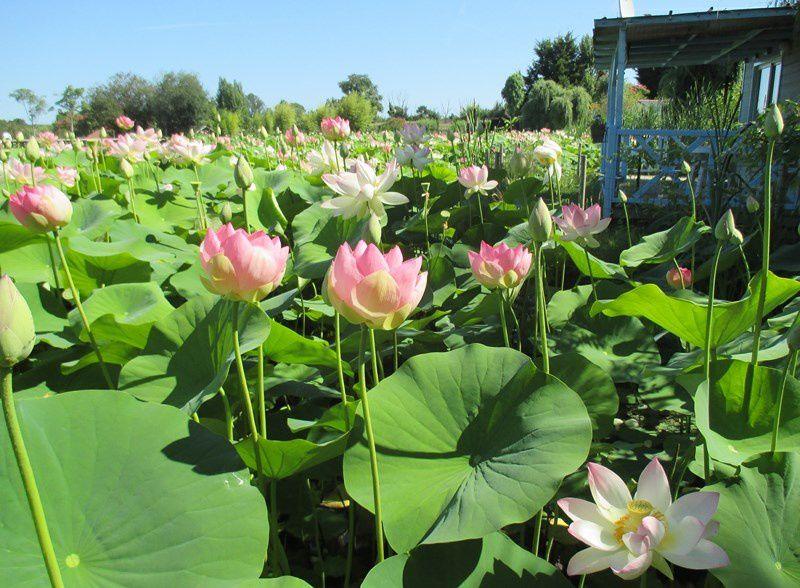 Et les lotus déployant leur splendeur....