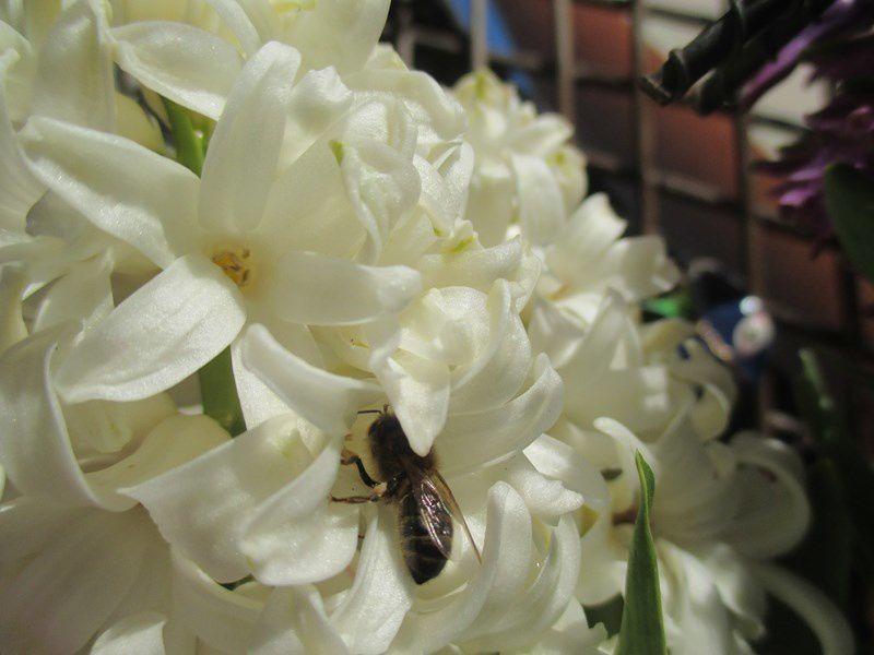 Les abeilles  plongent et se régalent de ces premiers parfums...Les jacinthes ont la cote !