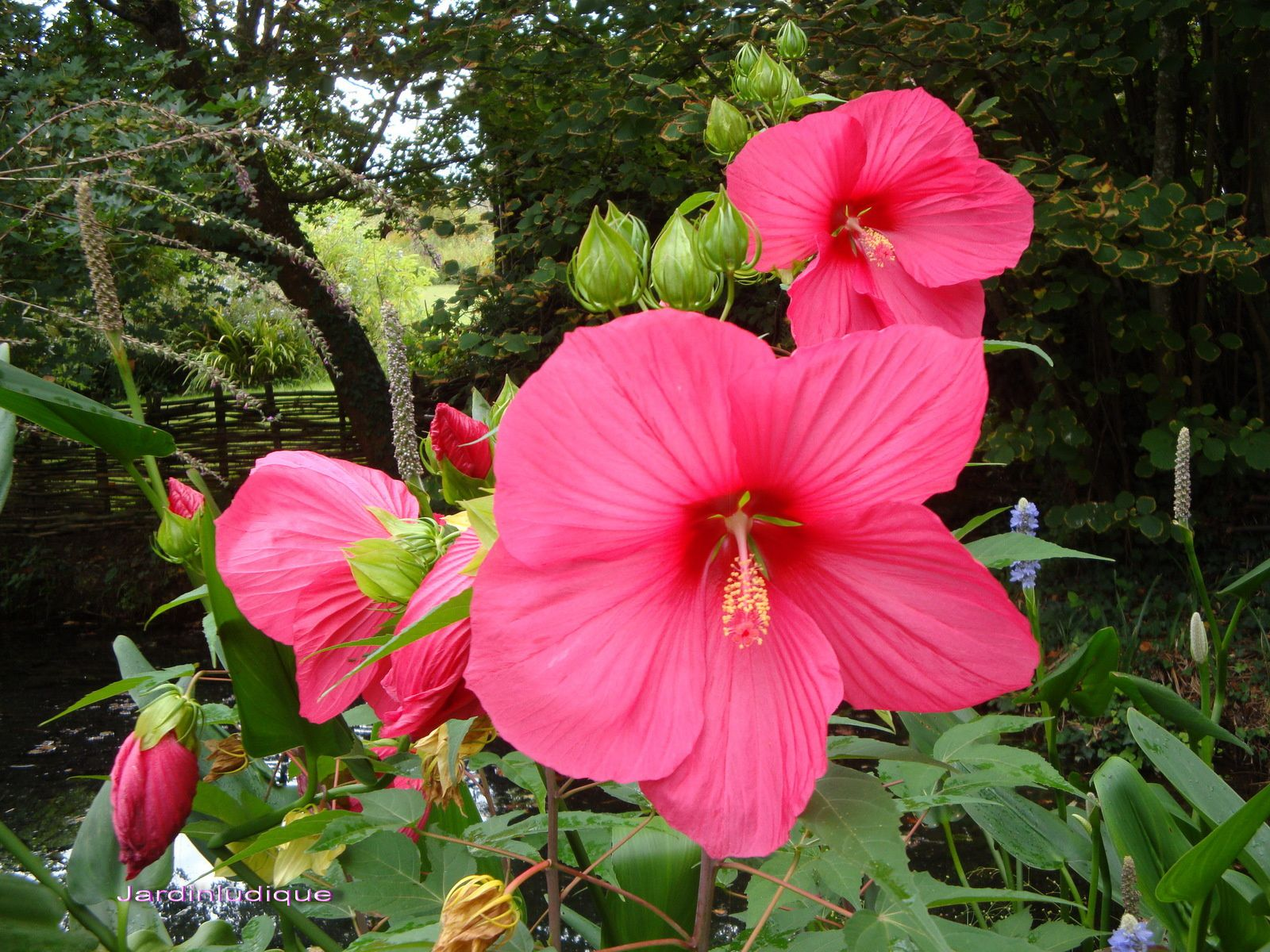 Hibiscus palustris (ketmie des marais/ Hibiscus Moscheutos)