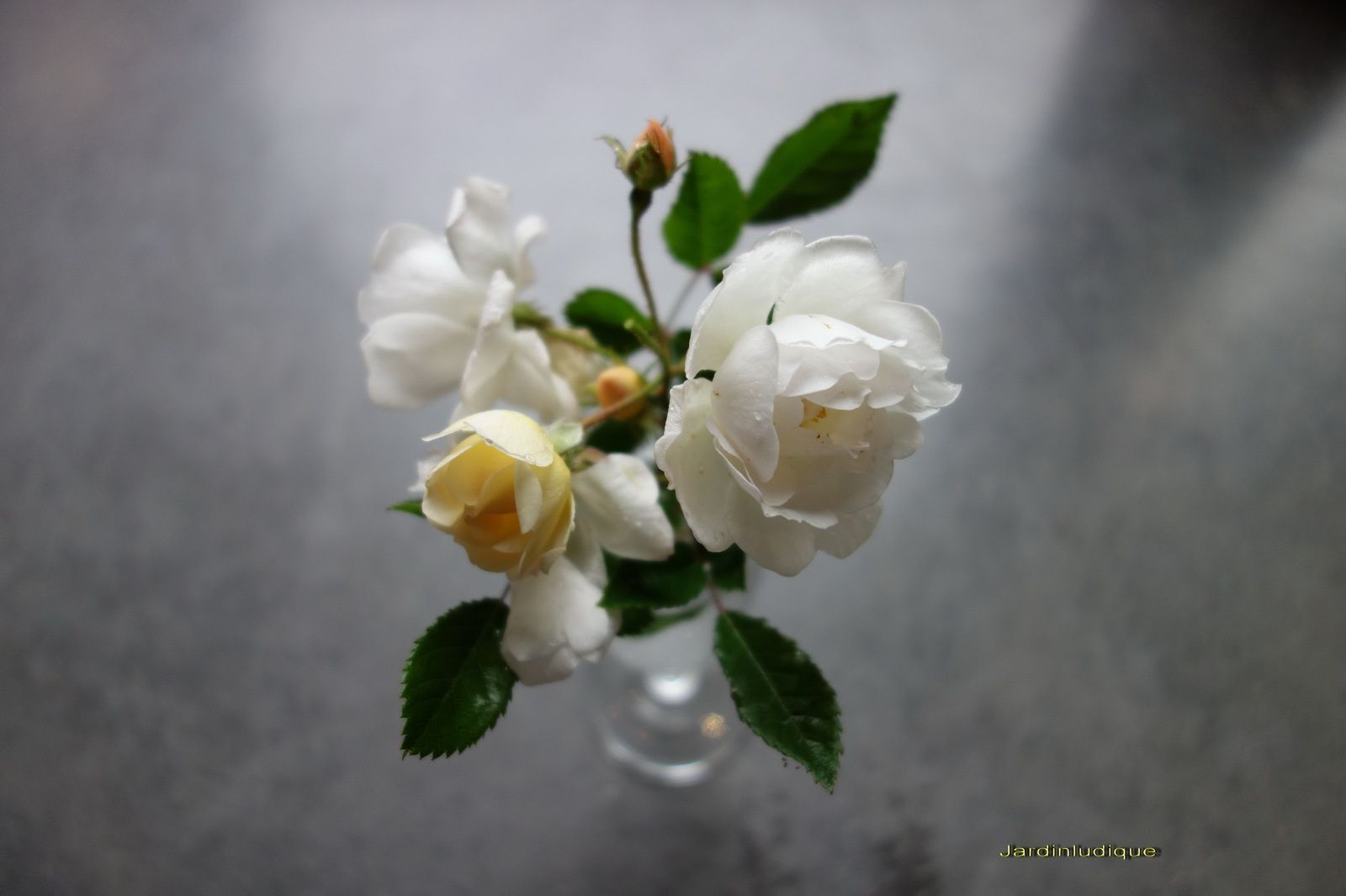 Naissance d'une rose.