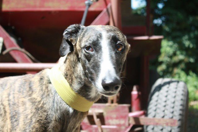 LIAISON LEVRIERS/NOS GALGOS A ADOPTER