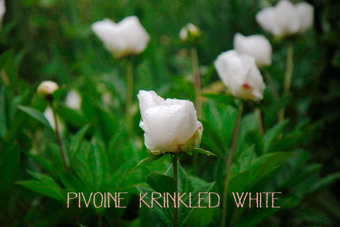 Pivoine krinkled white