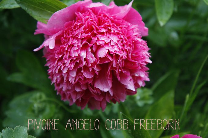Pivoine angelo cobb freeborn