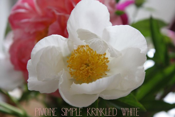Pivoine simple krinkled white