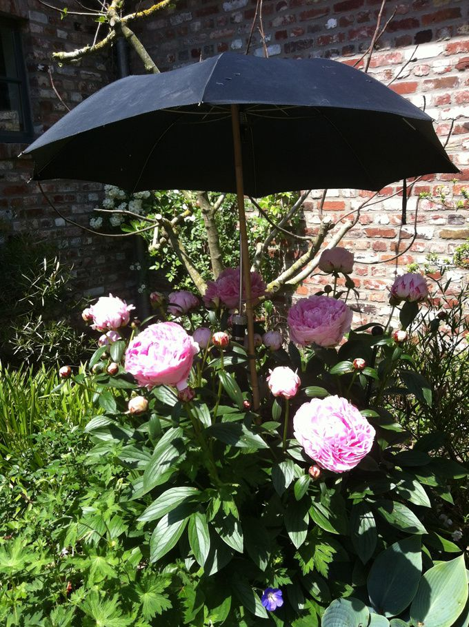 planter une pivoine en pot