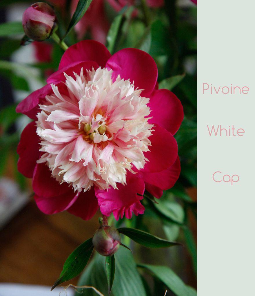 pivoine white cap