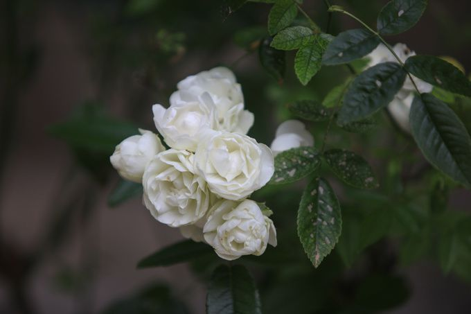 Roses blanches en grappe