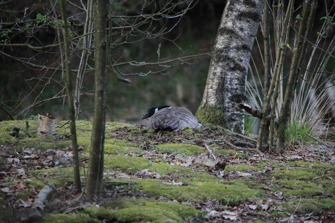 le nid de l'oie bernache