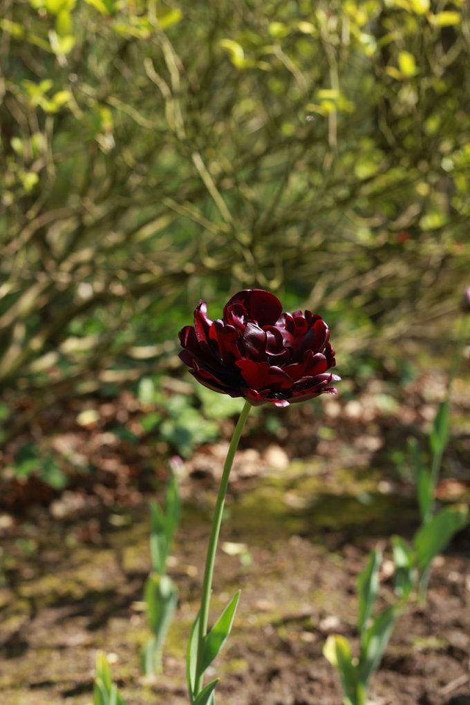 tulipe double black hero