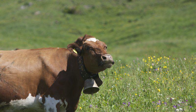 collier de vache