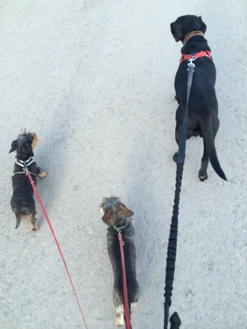 la promenade des chiens