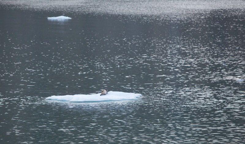 le phoque d'Arctique