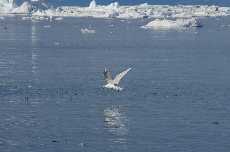 les oiseaux d'arctique