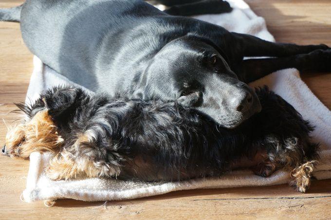 la sieste des chiens