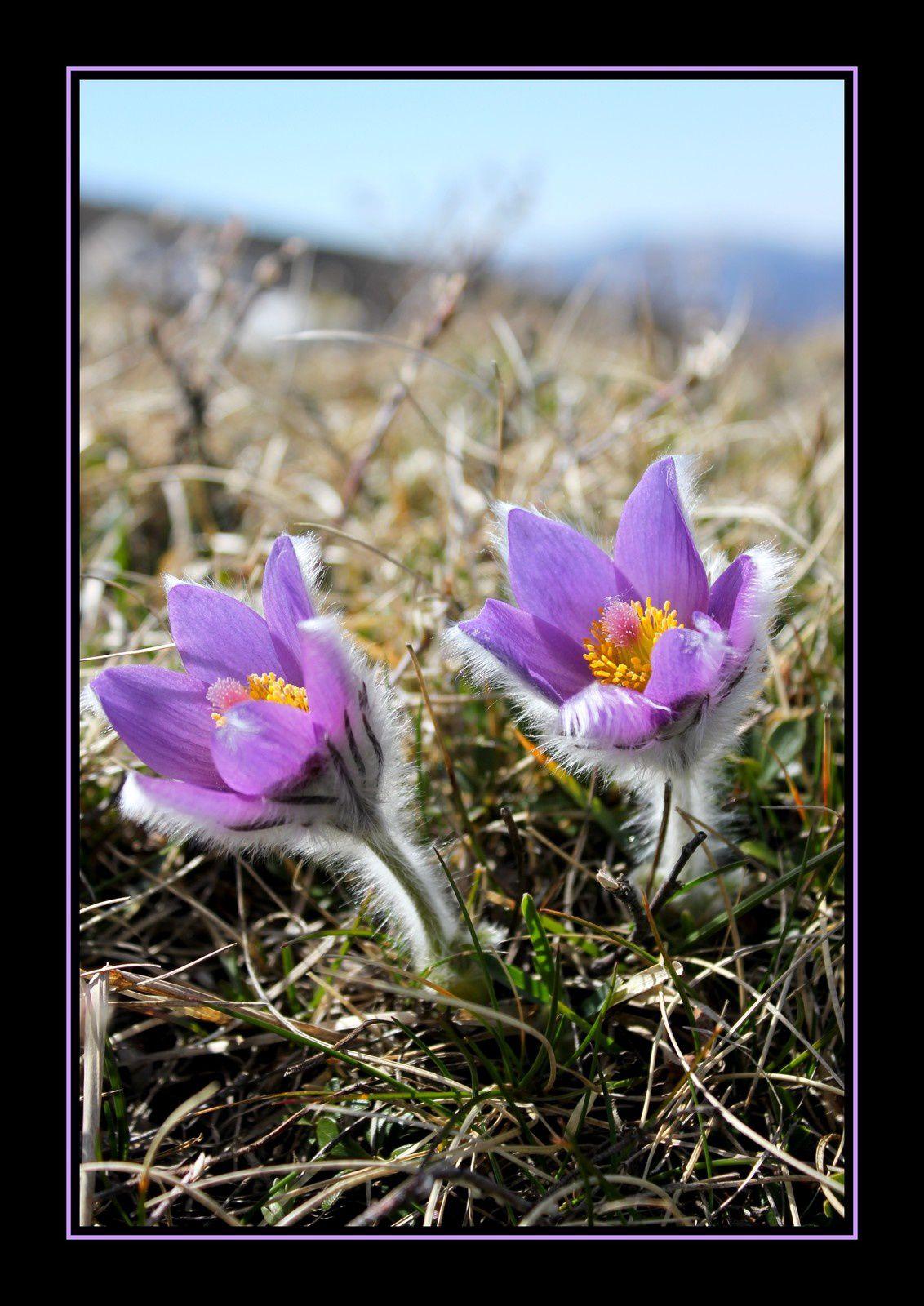 &quot&#x3B;Conter fleurette au Col de la Chante...&quot&#x3B;