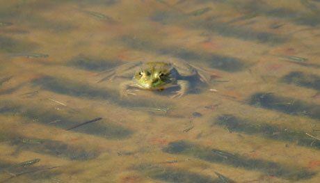 Les anoures occupent les lieux. Ici la grenouille verte (famille des ranidae, Rana esculenta)