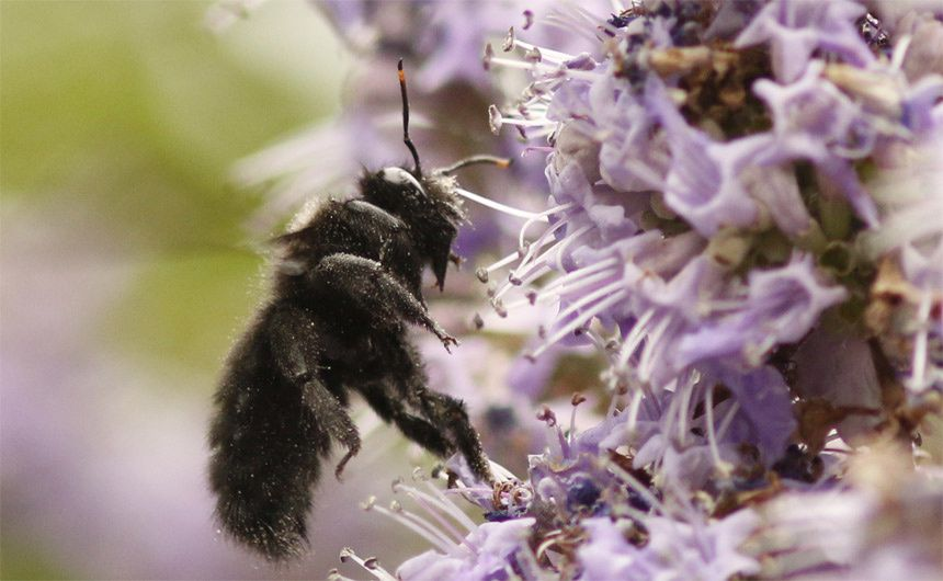 Une abeille solitaire classée dans les apiformes à langue longue (anthophora), et que  l'on retrouve sur les fleurs à corolles profondes