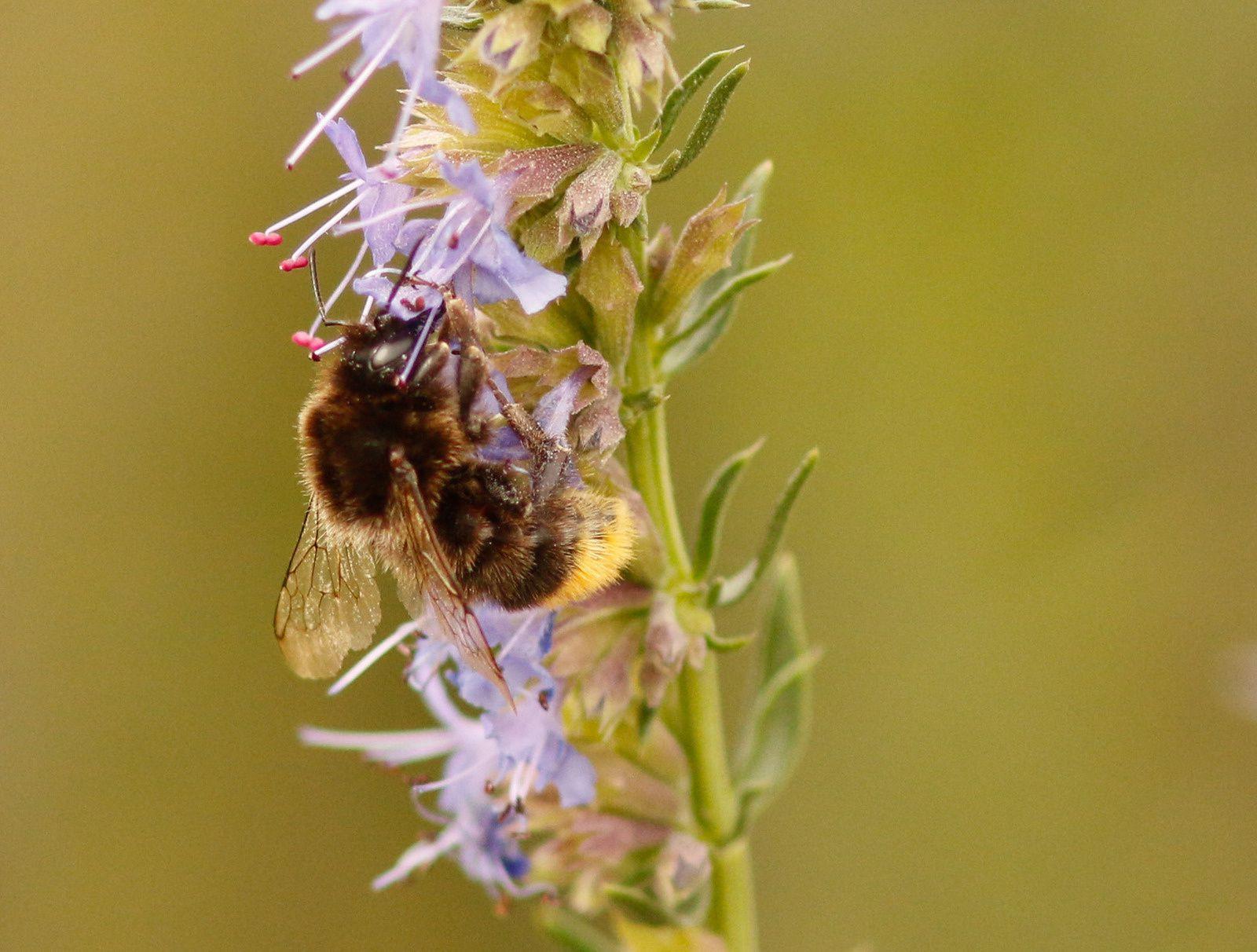 Un programme de sensibilisation aux abeilles sauvages.