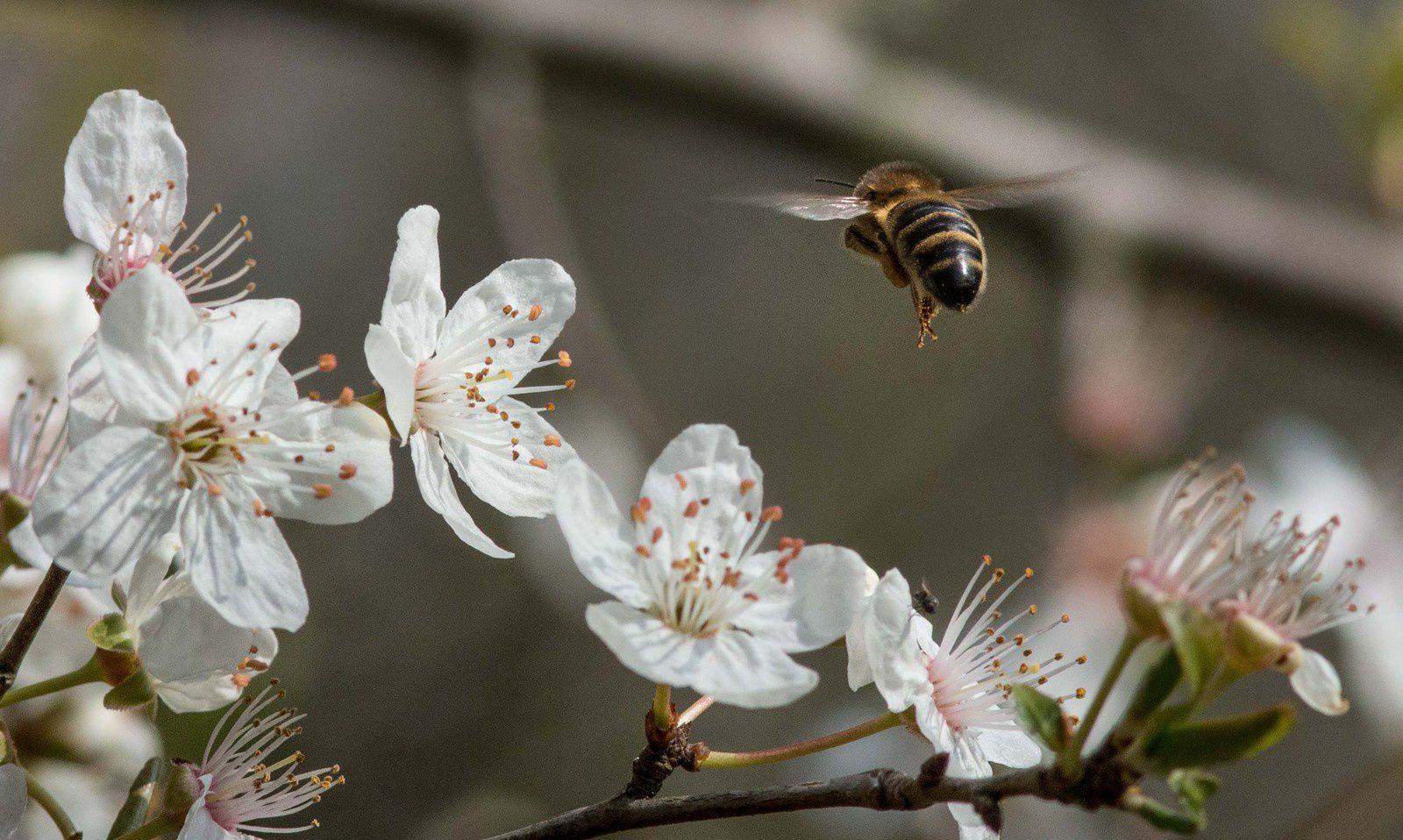 Une pollinisation réussie apporte de nombreuses baies de prunelles en libre service pour les frugivores.