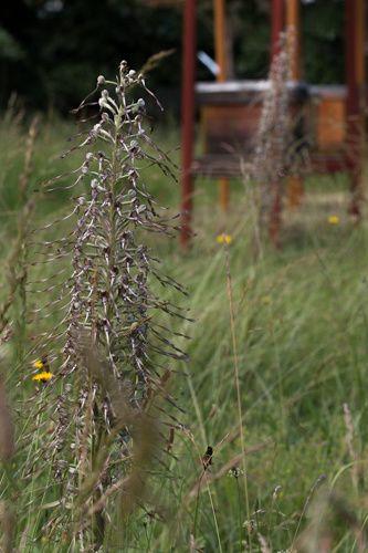 Nous avons très vite remarqué la présence de deux espèces d'Orchidées sauvages : l'orchidée bouc (et en effet elle sent !). L'orchidée pyramide avec un odeur plus florale.