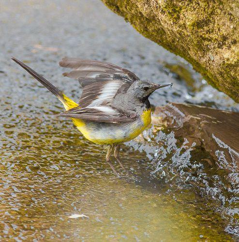 Une jeune bergeronnette des ruisseaux qui trouve également de quoi se nourrir dans le canal