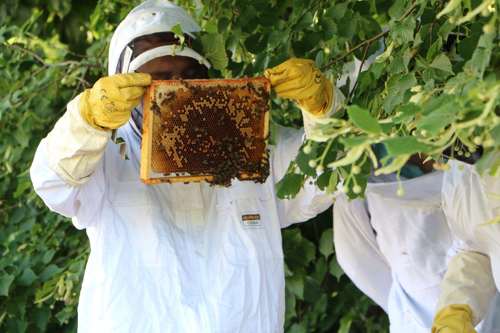 Dans le couvain, la recherchedes pontes de la reine est primordial pour connaître l'état de santé de la ruche que l'on inspecte ! Photos de Patrick Duru.