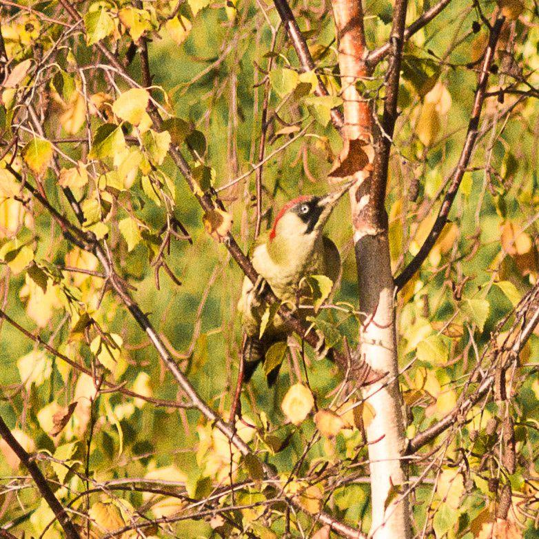 Le pic vert, (ici un mâle) a ses habitudes autour du fort de la Redoute, toute l'année. Mais pour combien de temps ? Les arbres du fort sont menacés par les travaux du Grand Paris. C'est le dernier site de nidification du secteur. Les acacias faux robiniers sont également des ressources pour nos abeilles domestiques.