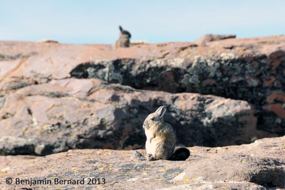 Viscache prenant un bain de soleil alertée par notre présence
