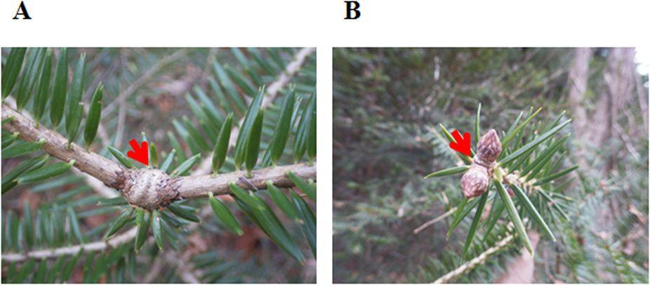 Figure 7 - Indication de la pousse de tête et du bourgeon apical supprimés sur une branche principale des sapins japonais. Les flèches indiquent la position de la pousse de tête supprimée (A). Rameau annuel de 2013 (S1),  (B) : bourgeons d'hiver de 2015 à l'apex de l'axe principal (S1).